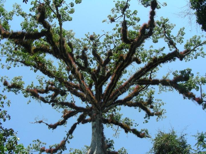 Flora for Chioma albero